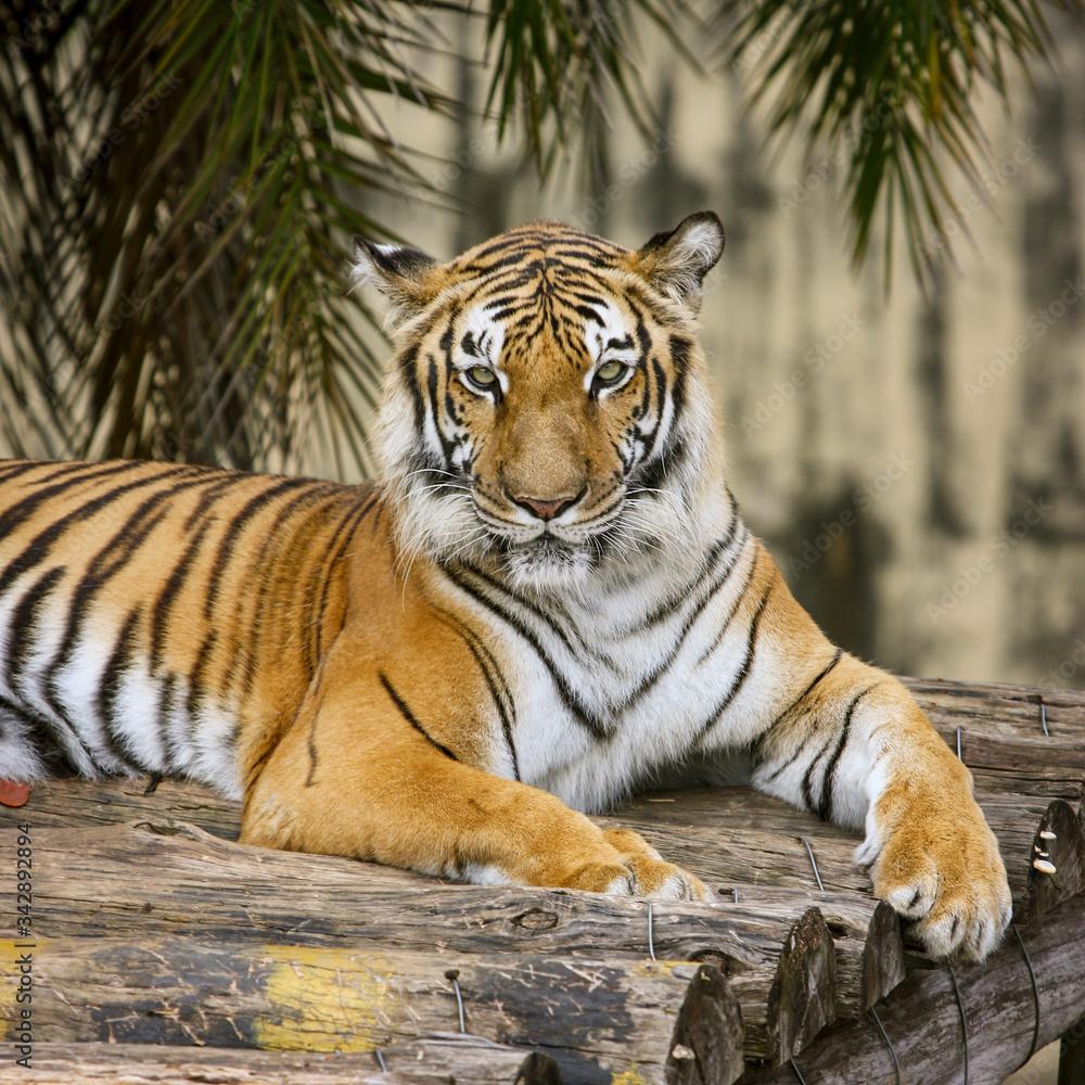 Fototapeta Tigre olhando para a câmera. Grande felino descansando em cima de tronco de madeira.