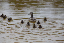 Adult Wild Duck With Little Ducklings Swim Together In The Lake During The Rain