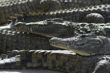 Crocodiles Sunbathing Between Crocodiles In A Natural Park