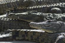 Crocodiles Sunbathing Between ...