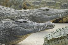 Crocodiles Sunbathing In A Nat...