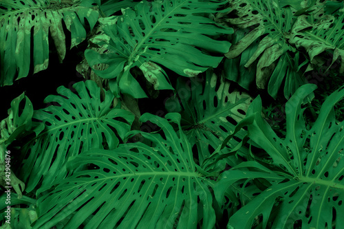 Fototapety, obrazy: Dark green leaves of Monstera or split-leaf philodendron growing wild, evergreen vine from Colombia. Lush and vibrant tropical plant background.