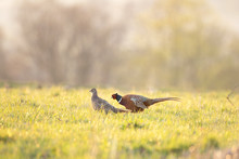 Male Common Pheasant (Phasianus Colchicus) Displaying Next To Females In The Spring Mating Season. Territorial Behavior. Czech Nature During Spring