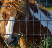 Cute Baby Paint Pony With Beautiful Light Blue Eyes And Full Bushy Mane Standing Behind Fence