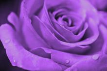 Lavender Rose Blossom