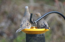 Two American Mourning Doves Eating Seeds On The Bird Feeder
