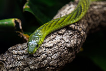 West African Green Mamba Sitting On A Tree Limb