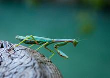 Bello Insecto Mantis Religiosa Hembra De Color Verde