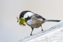 Black Capped Chickadee Collect...