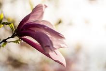 Single Magnolia Flower Bloom C...