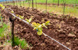 A closetup of tiny leaves sprouting along a grapevine in an Oregon vineyard, soft focuse vines in the background, contrast with tilled soil.