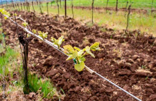 A closetup of tiny leaves sprouting along a grapevine in an Oregon vineyard, soft focuse vines in the background, contrast with tilled soil Canvas Print
