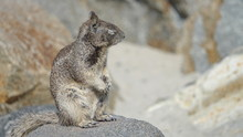 A Grey Ground Squirrel Looks L...