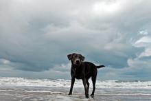 Black Labrador Standing On Beach Against Cloudy Sky