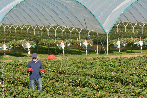 Strawberry farmer carrying boxes with freshly picked strawberries Fototapete