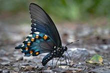 Blue Butterfly With Black Wings