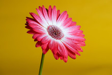Colorful Red Gerbera Daisy Flower