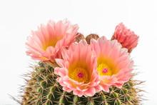 Golden Barrel Cactus (Echinocactus Grusonii). Closeup Of Echinocactus Grusonii With Pink Flowers.