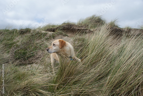 Labrador dog standing in the windswept long grass. Slika na platnu