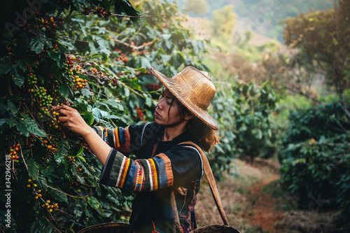 Asian woman farmer harvest arabica cherry coffee in coffee farm at Ban Pang Khon the northern of Chiang Rai, Thailand Wallpaper Mural