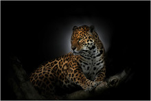 Jaguar On Tree At Night