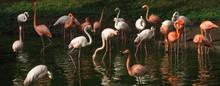Flock Of Flamingos In Lake