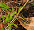 Yellow striped poison dart frog about to jump and escape.