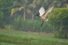 Black Headed Ibis On Flying In...