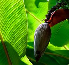 Low Angle View Of Banana Flowe...