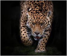 Portrait Of Jaguar Walking On Field
