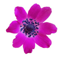 Anemone Wild  Isolated Purple ...