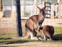 Kangaroo Feeding Joey On Field At Zoo