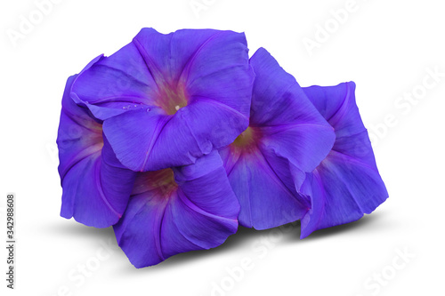Photo Morning glory on white background.Have clipping path