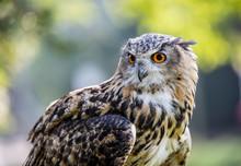 Close-up Of Eurasian Eagle Owl