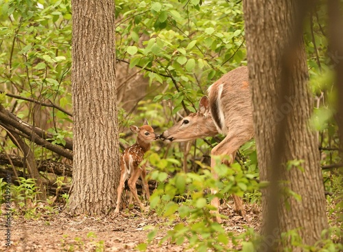 Wallpaper Mural newborn fawn being kissed by doe