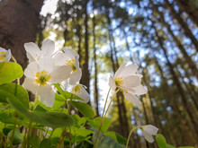 Flowering Forest Sour Clover I...