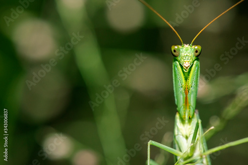 Photo Garden Praying Mantis also known as Orthodera ministralis