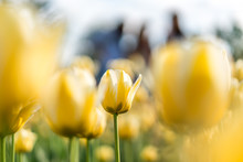 Close-up Of Yellow Tulips Growing On Field