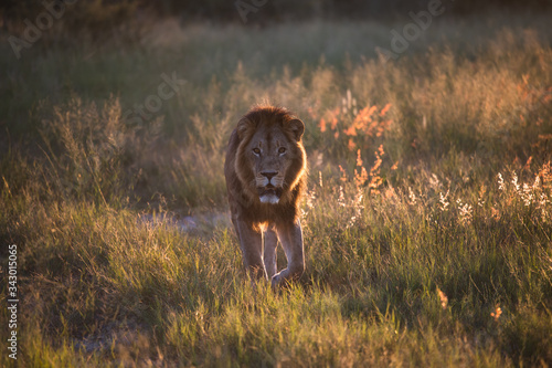 Photo a beautiful African lion proudly walking african savanna lit by botswana's setti