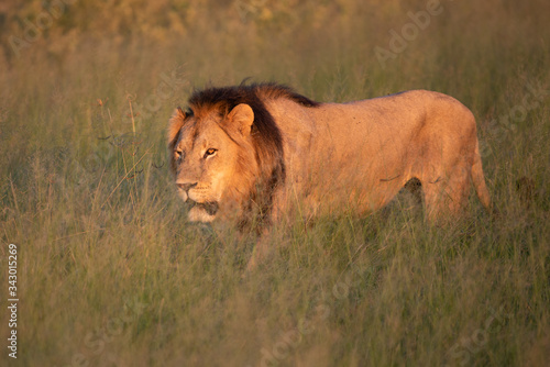 a beautiful African lion proudly walking african savanna lit by botswana's setti Canvas Print