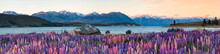 Panoramic View Of Lupines Grow...