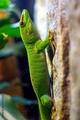 Single Madagascar Giant Day Gecko - latin Phelsuma grandis - diurnal arboreal li Wallpaper Mural