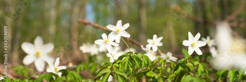 Wood anemone in the forrest Wallpaper Mural