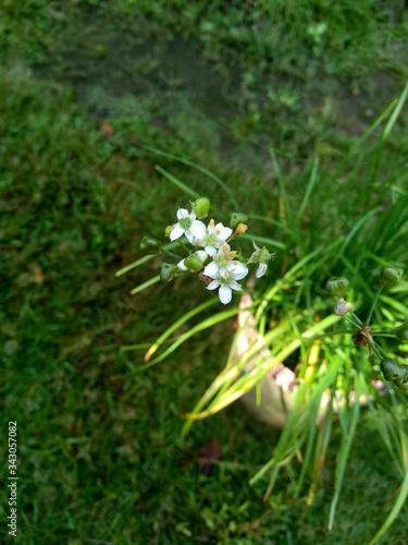 Allium tuberosum (garlic chives, Oriental garlic, Asian chives, Chinese chives, Chinese leek, kecai, kucai) with natural background Wallpaper Mural