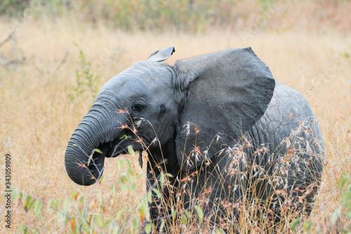 Fotografija Elephant baby playfull