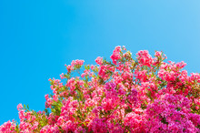Tree With Blooming Pink Flower...