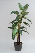 Tall Home Banana Tree In Dark Pot