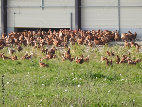 Elevage extensif et en plein air de poules et poulets Canvas-taulu
