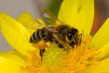 Honey Bee, Pollination Process