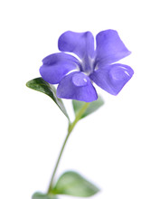 Beautiful Spring Purple Periwinkle With Dew Drops On The Flower Petals